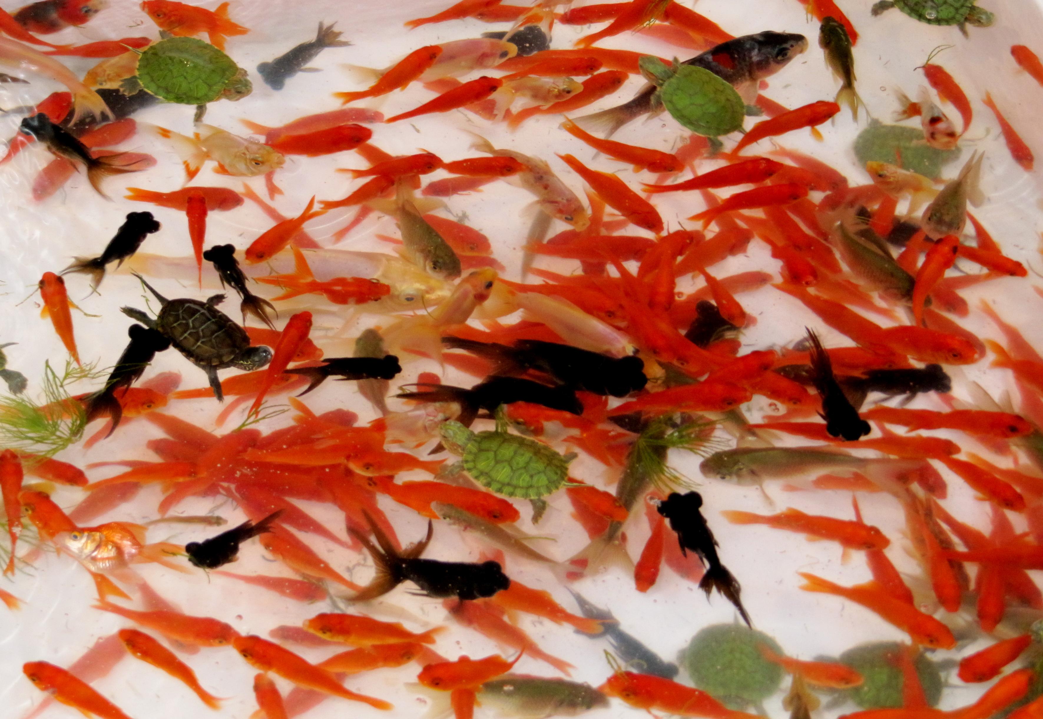 Japan summer matsuri in tokyo remarkable travels - Japanese remarkable ...