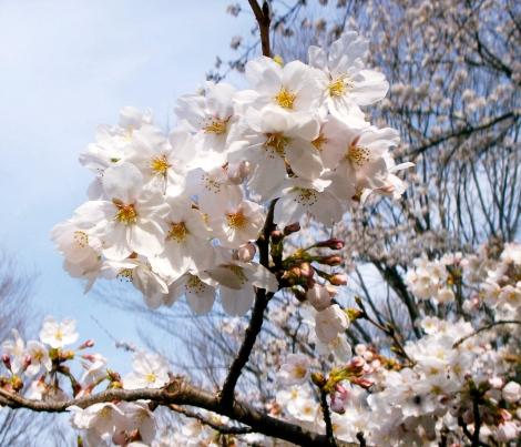 Stunning Sakura in full bloom