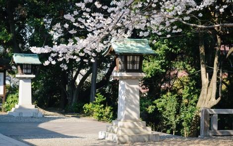 Sakura trees at Hie Jinja