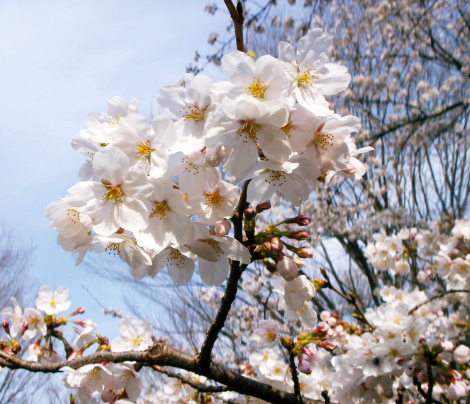 Stunning Sakura in full bloom